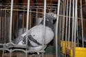 Galeria gołębie